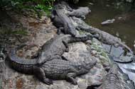 crocodile close up view