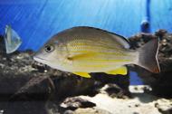 yellow seabream