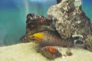 yellowhead fish
